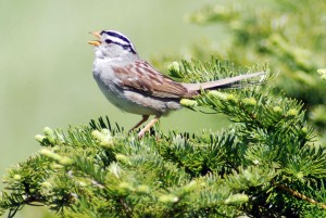 More shrubs and an earlier spring may benefit the White-crowned<br />             Sparrow. Credit: John Wingfield, University of California at Davis.