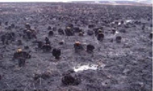 Sedge tussocks did not burn as completely in a 2007 wildfire as other tundra plants.