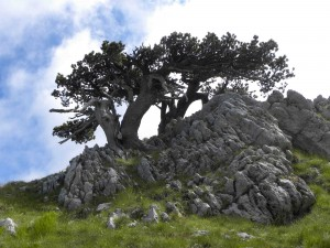 Pini loricati trees. Credit: Meg Reitz.