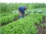 Crops Thumb