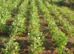 Neatly planted demonstration soya bean crops