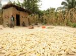 Maize harvest, Mbola Tanzania