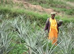 Land degradation and soil erosion on hilly terrain make growing pineapples difficult in the Millennium Village of Ruhiira in Uganda.