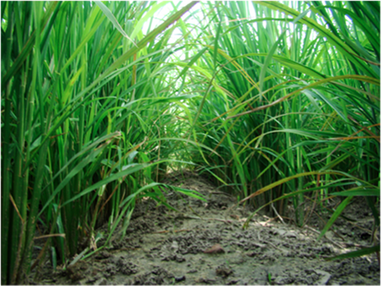 Direct Seeding of Rice – A Simple Solution to India's Water