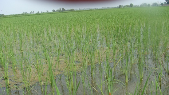 Conventional rice production requires standing water.