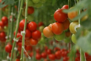 tomatoes growing on vines