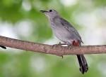 Gray Catbird seen in Washington, DC, USA.
