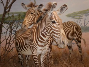 A Warm Welcome To The New Baby Zebra At The Bronx Zoo