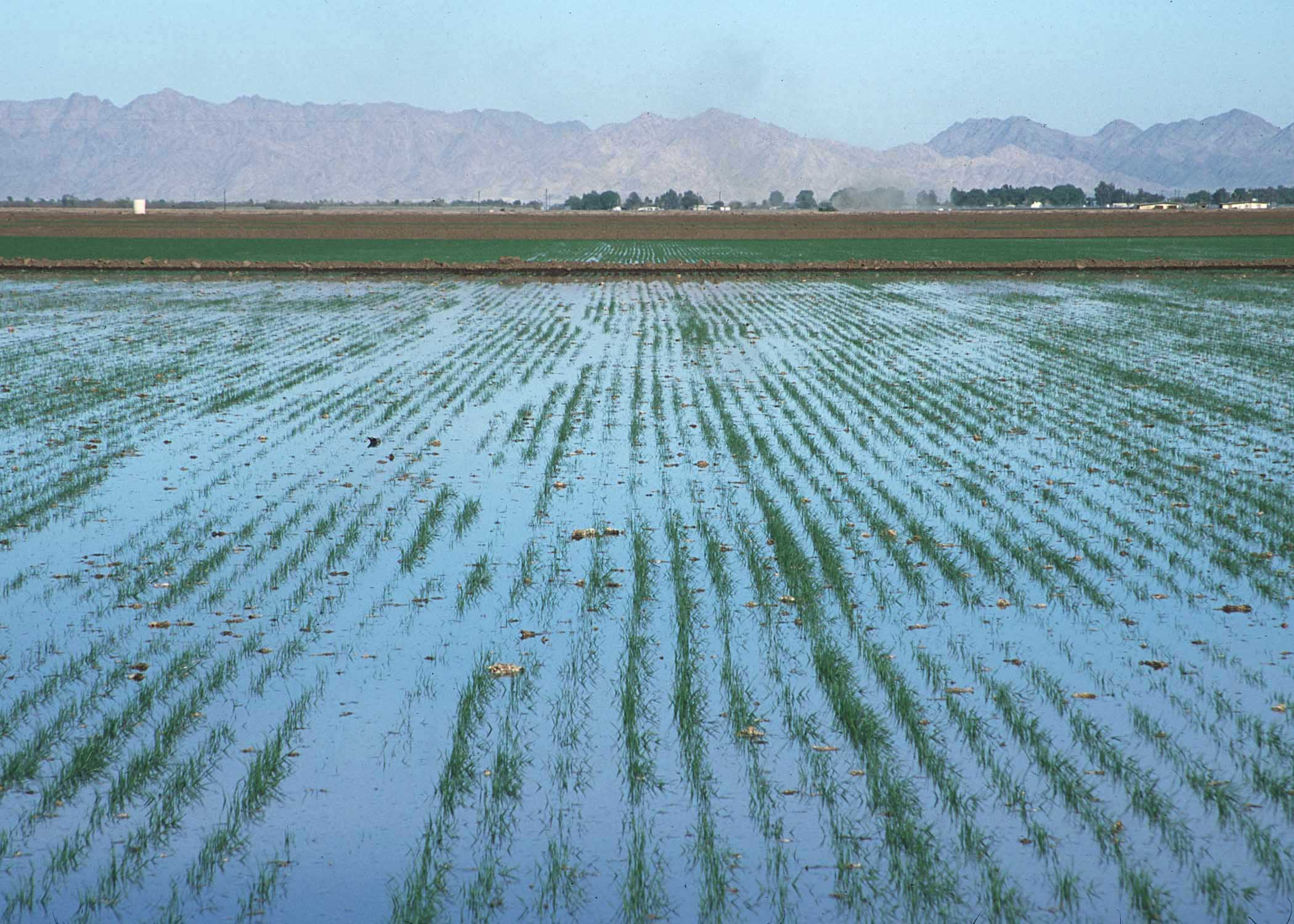 Rice one of the most water intensive crops is traditionally