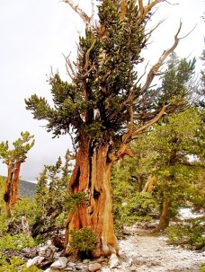 Bristlecone pines, such as this over 1,000-year-old tree in the Great Basin National Park, contributed to the tree ring record on El Niño. Photo: Gisela Speidel, IPRC