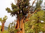 Bristlecone trees, such as this over 1,000-year-old tree in the Great Basin National Park, contributed to the tree ring record on El Niño. Photo courtesy Gisela Speidel, IPRC