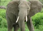 African elephant Source: Wikimedia Commons, nickandmel2006