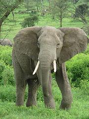 African elephant Source: Wikimedia Commons, nickandmel2006