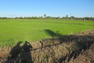 A rice field at the government-sponsored agricultural cooperative in Morada Nova, Brazil