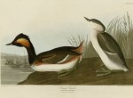 Plate 404 of Birds of America by John James Audubon depicting Eared Grebe