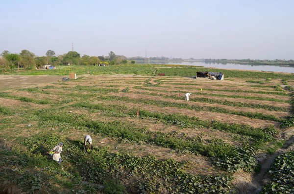"<h4>Harvesting bottle gourds at a farm settlement on the eastern bank of the Yamuna river, Delhi</h4>This land rests in the floodplain of the polluted Yamuna river, and once the monsoon arrives in July it will almost certainly be largely underwater. A <a target=""_blank"" href=""http://www.teriin.org/index.php?option=com_ongoing&task=about_project&sid=108"">recent study</a> conducted by The Energy and Resources Institute (TERI) found high levels of potentially hazardous heavy metals in vegetables grown in Yamuna basin."