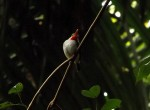 A Puerto Rican Tody (Todus mexicanus) is one of the myriad birds native to El Yunque National Forest. Photo provided by Jason Sturner.