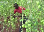 A farmer in Sauri Millennium Village, Kenya, takes advantage of improved agricultural water management using a greenhouse to farm tomatoes