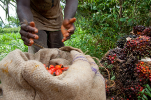 Smallholder oil palm production in Ghana: Market development and improved management can increase profitability of cash crops but the tradeoff of this intensification on the environment must be evaluated. Photo: Millennium Promise
