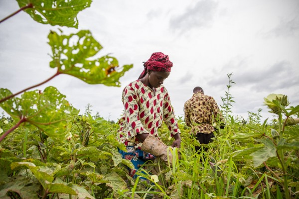 Farmers harvest okra in the village of Loulouni in Mali. They will sell the vegetable in the weekly market. Photo: F.Fiondella/IRI