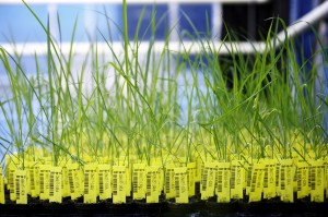 Image result for modified rice seeds