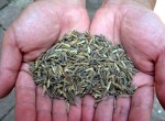 Perennial rice seeds.