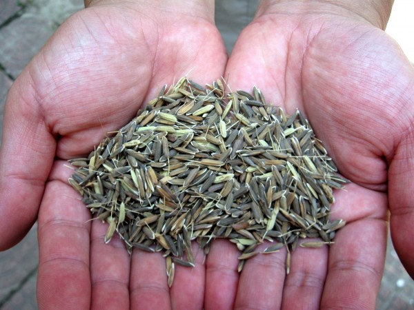 hyv seeds It is, therefore essential that quality seeds with good genetic potential,  to  promote the farmers for use of certified/qualities seed including hyv seeds to  make.