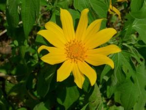 Mexican Sunflower. Photo credit: John Tann