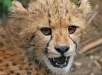 Cheetah_cub_close-up_crop (1)