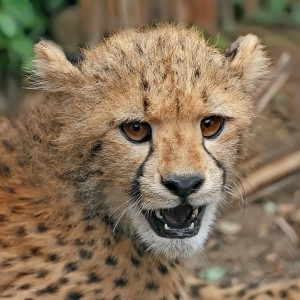 Cheetah_cub_close-up_crop (1)