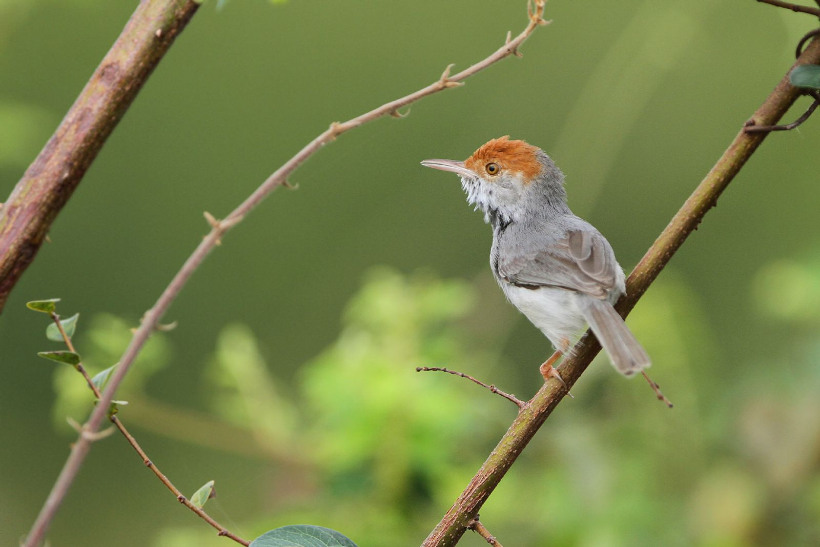 A new species of featureless little bird, the Cambodian Tailorbird. Photo: James Eaton.