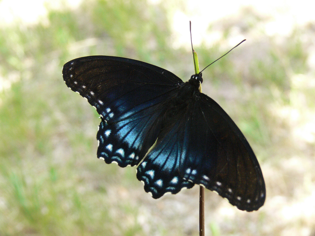 NPS red-spotted purple butterfly