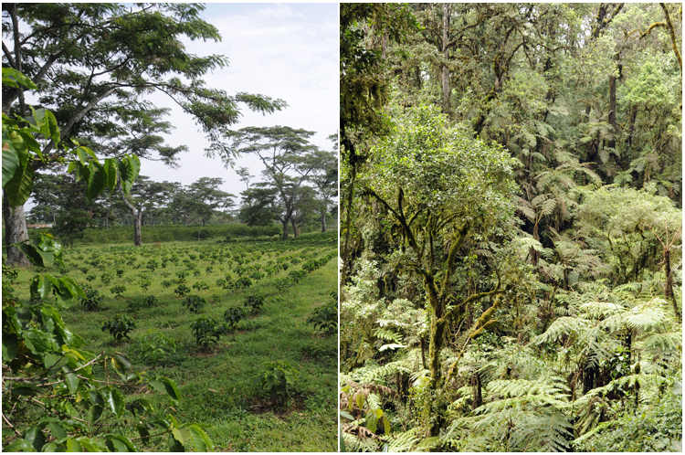 Intensively grown coffee using fertilizers and biocides grown side by side with what? on Mt. Kilimanjaro in Tanzania.  Both provide goods and services we need. Photo credit: S. Naeem