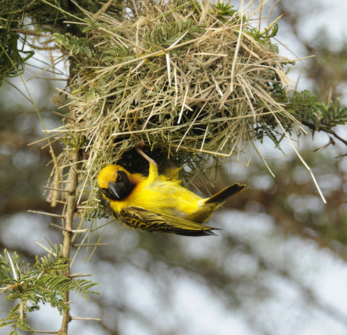 A weaver bird creating its nest in Arusha National Park, Tanzania; part of the rich biodiversity of natural areas in East Africa. Photo credit S. Naeem