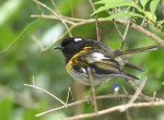 Male Stitchbird, or Hihi (Notiomystis cincta) Tiritiri Matangi island Photo Credit: Duncan Wright
