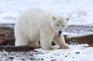 Polar Bear (Cub), Arctic National Wildlife Refuge, Alaska. (Alan D. Wilson)