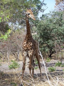 Giraffe in Senegal, imported from South Africa