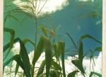 Maize, Malawi