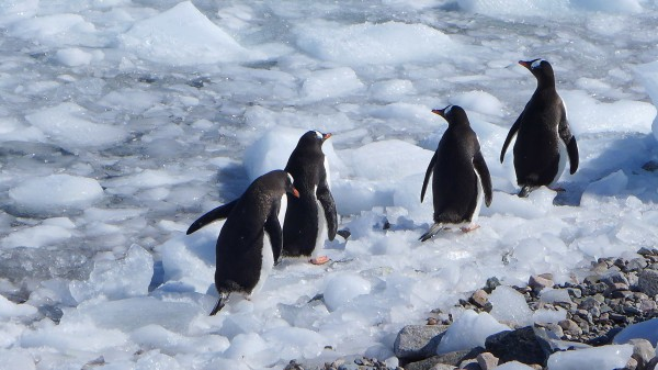 A group of penguins stick together as they make their way across the ice - they slip and fall but pop back up and keep moving. (Photo M. Turrin)
