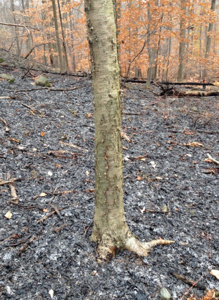 Yellow birch in a scorched landscape. This tree is more 'at home' in the far north. Seeing it here and in a fire is a pretty neat thing. Photo: N. Pederson