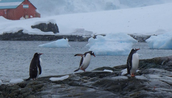 The Gentoo penguin, seemingly unafraid of humans, are increasing in numbers with the warming climate. (Photo M. Turrin)
