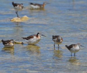 Mono Lake, Wilson's phalaropes