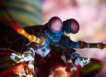 Mantis Shrimp. Nazir Amin, 2008