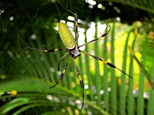 A golden orb spider. Photo: Josoroma