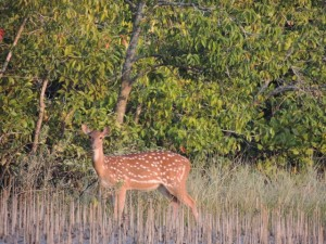 A deer stands among the salt-filtering aerial roots of the mangrove trees in the Sundarban