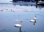 Mute Swans on Long Island Sound
