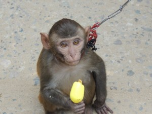 The pet monkey we saw near the cricket stadium.