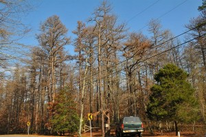 WHarton State Forest, Southern pine beetle