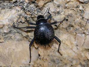 Namibian Beetle