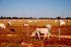 Cattle ranching in Brazil. Photo: joellehernandez